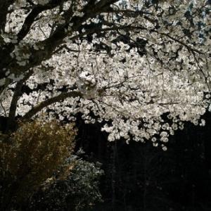 見ごろ、寂静寺の一本桜・・・ヤマザクラ