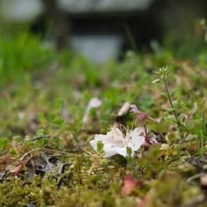 フタバアオイ・・・オクヤマガーデン、山桜が開花!