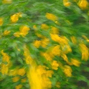 針畑桜・・・くつきの森曼荼羅とクアオルト「ヤッホ!」