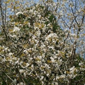 コシアブラ・・・庭のヤマザクラが見ごろ
