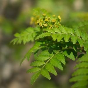 花山椒と双葉葵