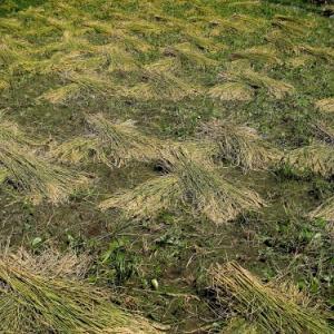 手刈と稲木で天日干し・・・自由自足の十姓生活