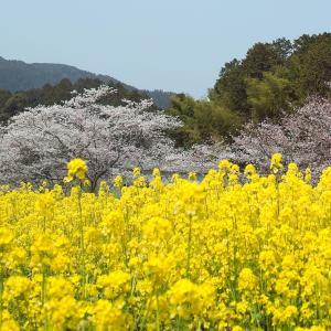 伊香立土手桜と仰木・棚田の一本桜