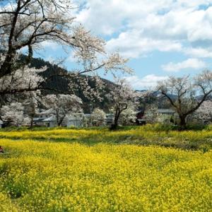 余呉川の菜の花と桜・・・リベンジ「長浜くらしノート展」と須賀谷温泉