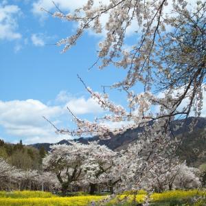見頃は週末、朽木大野桜・・・余呉の桜と菜の花パートⅡ