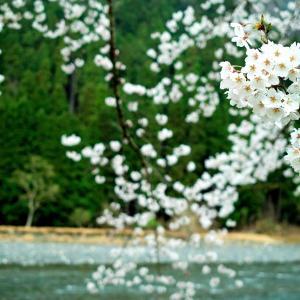 コレ・ナガカット・・・雨の朽木大野桜