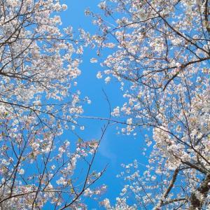 国民保険で三割負担・・・伊香立桜と新旭町の菜の花