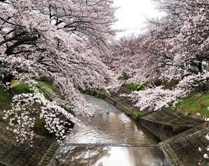 ほっこり癒しの桜色。