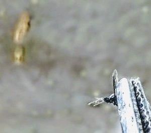 ササグモが蚊を捕獲の瞬間 The moment when Lynx spider captures mosquito