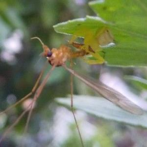大きなガガンボが小さなクモにやられていた A big mosquito was killed by a small spider