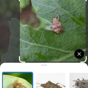 グーグルレンズでゾウムシ Weevil photographed with Google lens