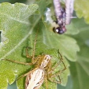 ササグモのお母さんは今朝も元気でした Lynx spider's mom was fine this morning