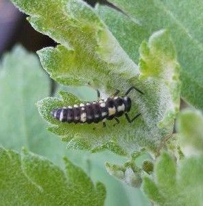 テントウムシの幼虫を発見 Discover Ladybug larvae