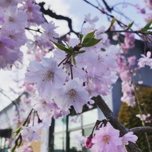 桜と今と。
