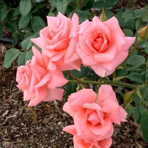 薔薇の香りに癒されながら