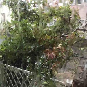 暴風雨でつるバラアーチ崩壊・・・ずぶ濡れ、傷だらけ~