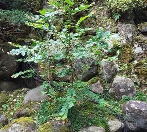 「さるすべり」の木につぼみが