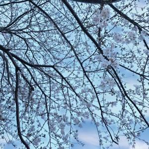 目黒川の桜は3~4部咲だった