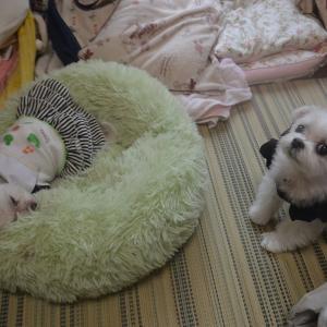 鈴鈴姉さん咳が酷くて「ほかぞの動物病院」に入院になりまつた~(´;ω;`)BY凜