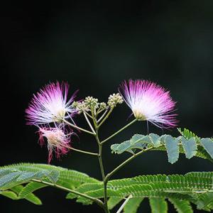 ネムの花、アザミの花