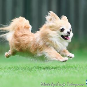 2020/9/21 栃木の飛行犬撮影所に来てくれたチワワのライくんをご紹介します