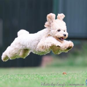2020/11/3 栃木撮影所で飛行犬となったあんちゃんをご紹介 飛行犬編