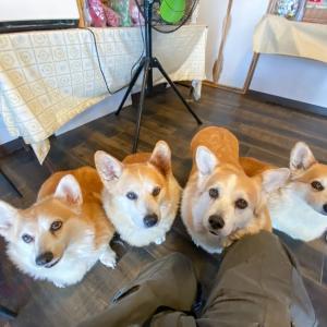 コーギーカフェ『DOG HILL』はコギ好きには堪らない楽園だった~(#^.^#)