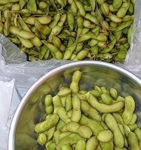 枝豆を収穫させてもらいました