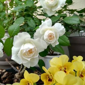 バラが咲き始めました。