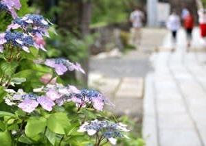 柳谷観音・楊谷寺の紫陽花✩モリアオガエルの卵