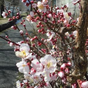 全国各地の桜の名所をWebを通じて「ライブカメラ」で動画で楽しもう! 春爛漫!上田UCV桜ライブ最高!! 【速報】上田市は只今6:30大雪に見舞われいます。