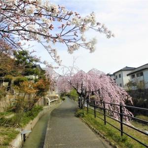 陽気誘われて!北国街道沿いの上田城外堀(矢出沢川遊歩道)桜が見頃、今週には満開