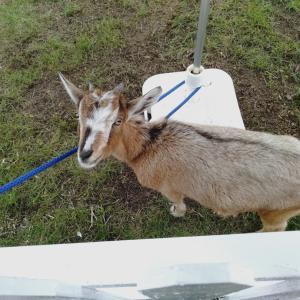 奄美大島旅行⑥それいゆふぁーむ 山羊ソフトクリーム ハートロック スムージー果樹園 農園
