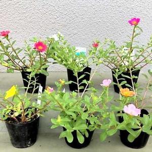 【『ポーチュラカ』のお花 ★ 今日の夕食は『ワンプレートおつまみ』&『山かけ丼』 ★デザートは〈喜八洲総本舗〉の『みたらし団子』】