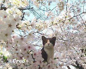 羊毛猫とお花見♪