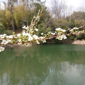 アーモンドのお花が咲きました✿