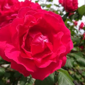 薔薇が満開~✿