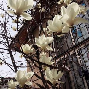 桜ですね~🌸