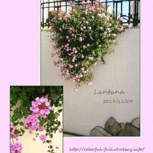 庭のランタナと花水木