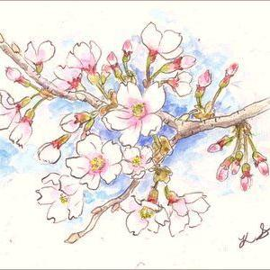 桜(水彩)