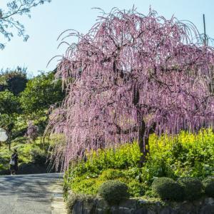 財田の枝垂れ梅を撮ってきました