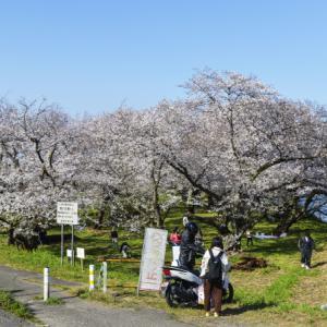 香東川 河川敷の桜