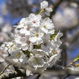 御殿神社周辺の桜