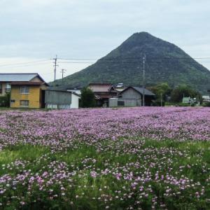 春です れんげ草と讃岐富士 2020