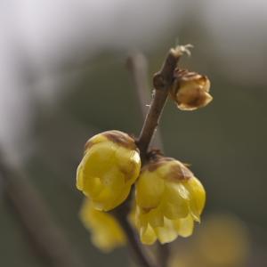 「蝋梅の香り」