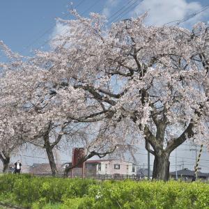 「堤防に咲く桜」