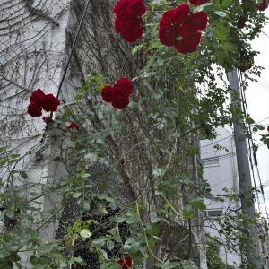 「バラで覆われた壁」