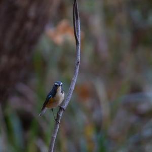 冬鳥はルリビタキから