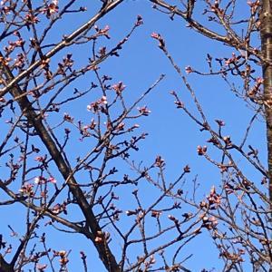もう...桜?