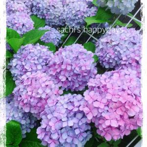 7月スタート♡今年もハートの紫陽花♡おまけでハートのしいたけも・・・♡♡♡